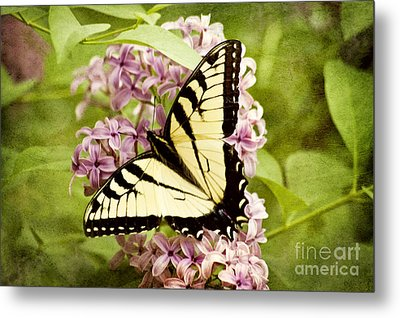 Tiger Swallowtail Butterfly Metal Print by Cheryl Davis