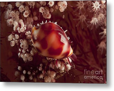 Tiny Cowrie Shell On Dendronephtya Soft Metal Print by Mathieu Meur