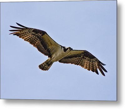 Topsail Osprey Metal Print by Betsy C Knapp