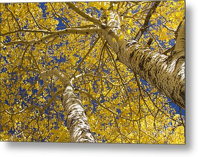 Towering Autumn Aspens With Deep Blue Sky Metal Print by James BO  Insogna