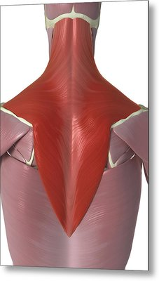 Trapezius Muscle Metal Print by MedicalRF.com