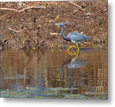 Tricolored Heron In The Winter Marsh Metal Print by Louise Heusinkveld