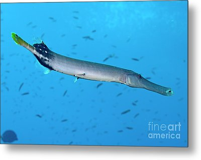 Trumpetfish Metal Print by Sami Sarkis