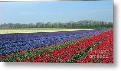 Tulip And Hyacinth Fields In Holland. Panorama Metal Print by Ausra Huntington nee Paulauskaite