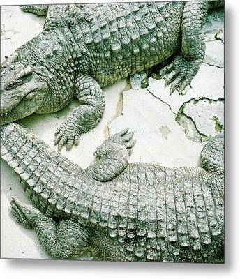 Two Alligators Metal Print by Yasushi Okano
