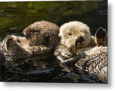 Two Captive Sea Otters Floating Back Metal Print by Tim Laman