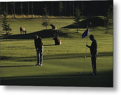 Two People Play Golf While Elk Graze Metal Print by Raymond Gehman