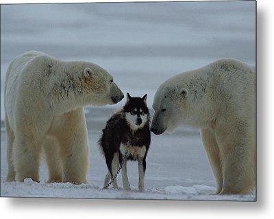 Two Polar Bears Ursus Maritimus Sniff Metal Print by Norbert Rosing