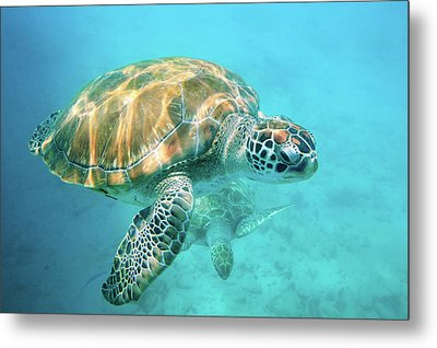 Two Sea Turtles Metal Print by Matteo Colombo