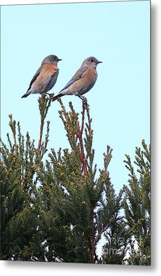 Two Western Bluebirds Perched . 40d12013 Metal Print by Wingsdomain Art and Photography