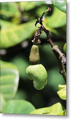 Unripe Cashew Nuts Metal Print by David Nunuk