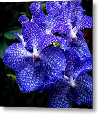 Vanda Orchids Metal Print by Shirley Sirois