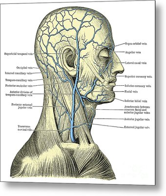 Veins Of The Head And Neck Metal Print by Science Source