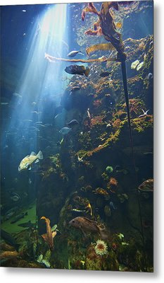 View Of Fish In An Aquarium In The San Metal Print by Laura Ciapponi