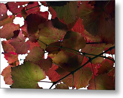 Vine Leaves Metal Print by Douglas Barnard