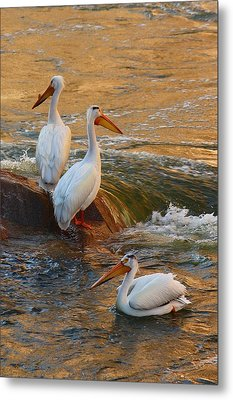 Waiting For Dinner Metal Print by Richard Stillwell