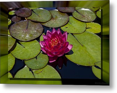 Water Lilly 4 Metal Print by Charles Warren