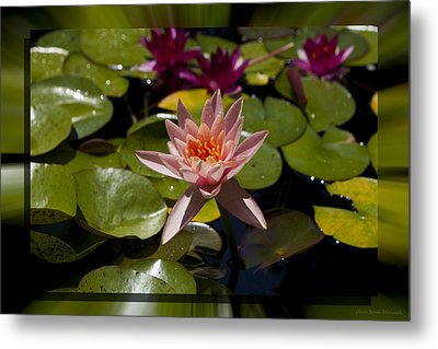 Water Lilly 6 Metal Print by Charles Warren
