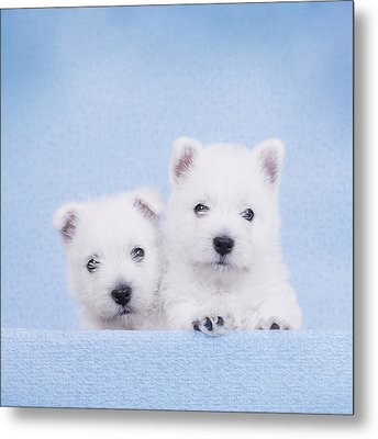 West Highland White Terrier Puppies Metal Print by Waldek Dabrowski