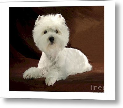 Westie 315 Metal Print by Larry Matthews