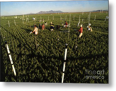 Wheat And Elevated Carbon Dioxide Metal Print by Science Source