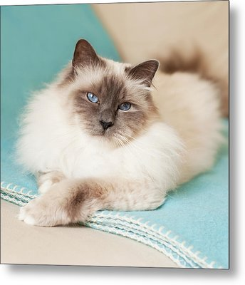 White Cat On Blue Blanket Metal Print by MariaR