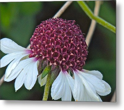 White Coneflower Metal Print by Eve Spring