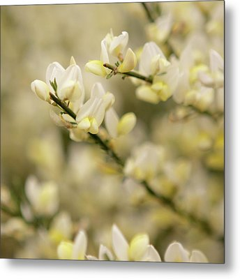 White Fragrant Flower Close Up Metal Print by by Samia Mohammed