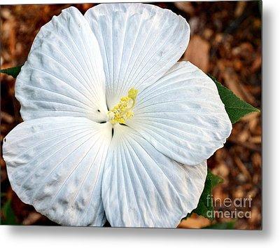 White Hibiscus Bloom Metal Print by Eva Thomas