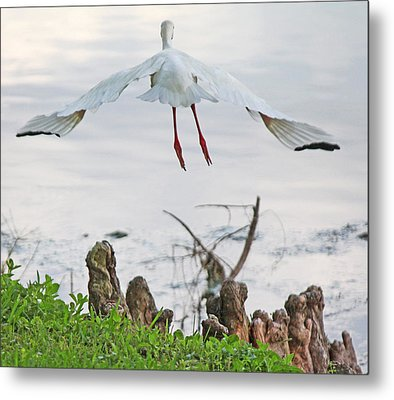 White Ibis Liftoff Metal Print by Becky Lodes