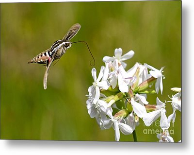 White-lined Sphinx Hummingbird Moth Metal Print by Fred Emms