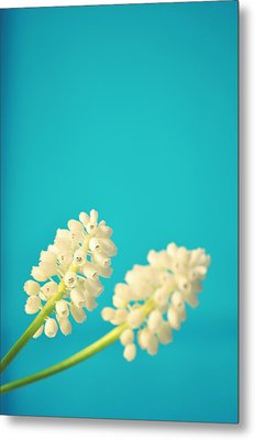 White Muscari Flowers Metal Print by Photo by Ira Heuvelman-Dobrolyubova