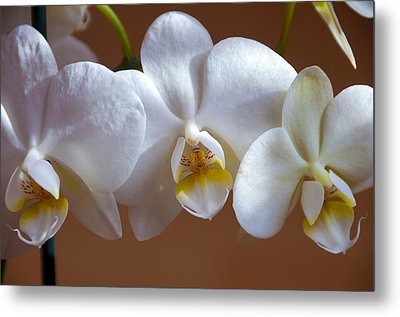 White Orchid  Metal Print by Svetlana Sewell