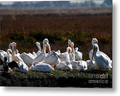 White Pelicans Metal Print by Wingsdomain Art and Photography
