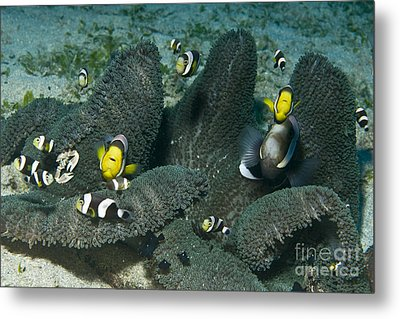 Whole Family Of Clownfish In Dark Grey Metal Print by Mathieu Meur