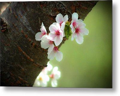 Wild Cherry Blossom Metal Print by Emanuel Tanjala