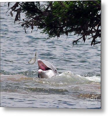 Wild Dolphin Feeding Metal Print by Paul Ward