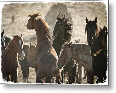 Wild Horse Battle D1713 Metal Print by Wes and Dotty Weber