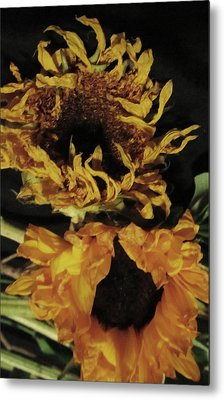 Wilted Sunflowers Metal Print by Todd Sherlock
