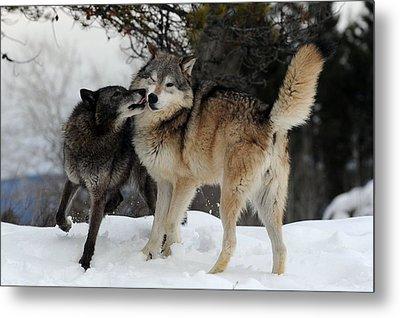 Wolves Kissing Metal Print by Jacki Pienta