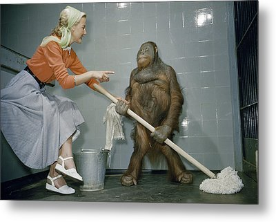 Woman Communicates With Orangutan Metal Print by B. A. Stewart And David S. Boyer