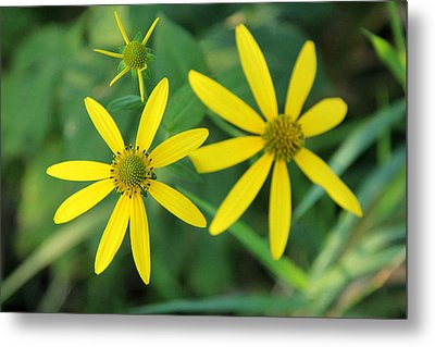 Yellow Coneflower Metal Print by James Hammen