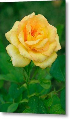 Yellow Rose Metal Print by Atiketta Sangasaeng