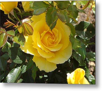 Yellow Rose Of California Metal Print by James Hammen