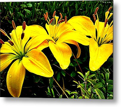 Yellow Triad Of Lilies Metal Print by Kevin D Davis