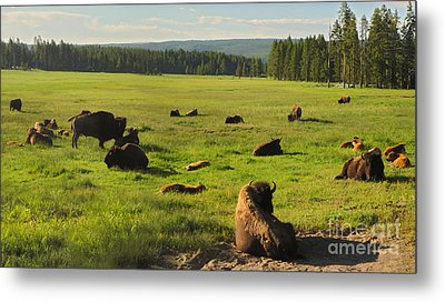 Yellowstone National Park Bison - 03 Metal Print by Gregory Dyer