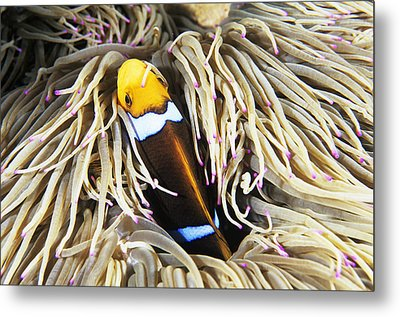 Yellowtail Anemonefish In Its Anemone Metal Print by Alexis Rosenfeld