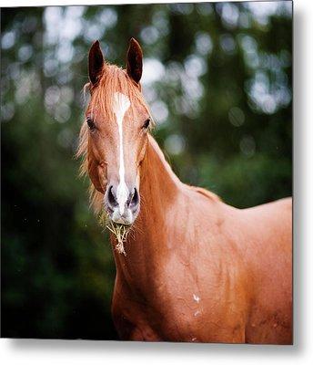 Young Brown Quarter Horse Metal Print by Jorja M. Vornheder