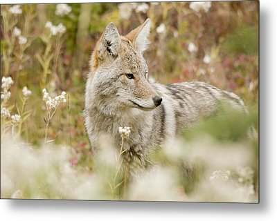Young Coyote Canis Latrans In A Forest Metal Print by Philippe Widling