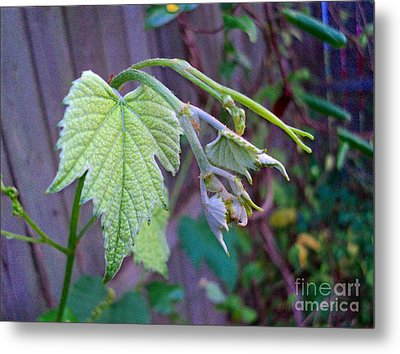 Young Grape Leaves Metal Print by Padre Art